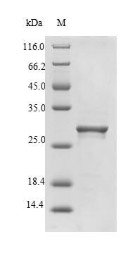 SDS-PAGE - Recombinant Calloselasma rhodostoma Snaclec rhodocytin subunit alpha