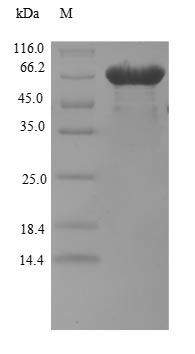 SDS-PAGE- Recombinant protein Human BZW2