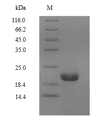 SDS-PAGE- Recombinant protein Macaca EPO