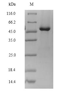 SDS-PAGE- Recombinant protein Rat Lhcgr