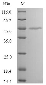 SDS-PAGE- Recombinant protein Human MAGEA1