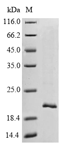 SDS-PAGE- Recombinant protein Macaca TTR