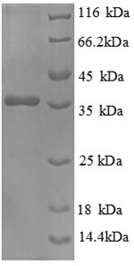 SDS-PAGE- Recombinant protein Human HSBP1