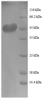 SDS-PAGE- Recombinant protein Human RHOA