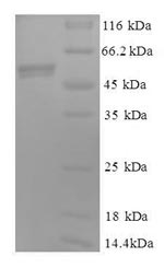 SDS-PAGE- Recombinant protein Human CYC1
