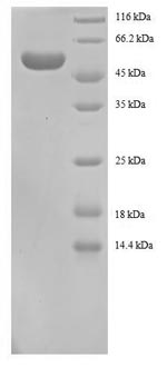 SDS-PAGE- Recombinant protein Human YWHAB