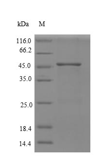 SDS-PAGE- Recombinant protein Human RPA2