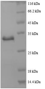 SDS-PAGE- Recombinant protein Human ACTB