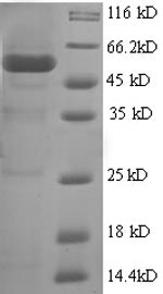 SDS-PAGE- Recombinant protein Human BMI1