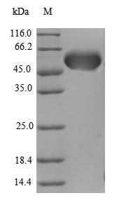 SDS-PAGE- Recombinant protein Human AATF