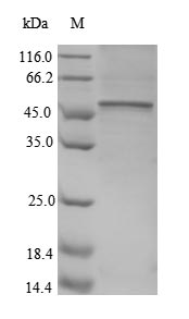 SDS-PAGE- Recombinant protein Human CD40LG