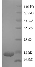 SDS-PAGE- Recombinant protein Human TGFB1