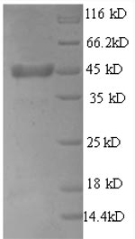 SDS-PAGE- Recombinant protein Rat Thpo