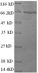 SDS-PAGE- Recombinant protein Mouse Actb