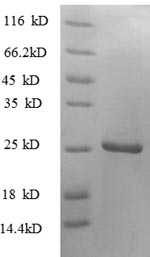 SDS-PAGE- Recombinant protein Human TNFSF9
