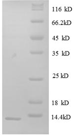 SDS-PAGE- Recombinant protein Human CXCL8