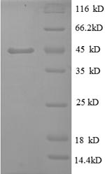 SDS-PAGE- Recombinant protein Bovie TNF