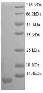 SDS-PAGE- Recombinant protein Mouse Scyb11