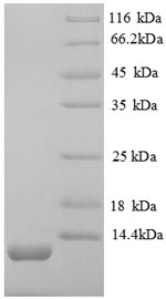 SDS-PAGE- Recombinant protein Mouse Cxcl12