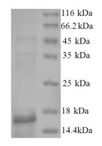 SDS-PAGE- Recombinant protein Human BMP2