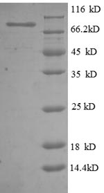 SDS-PAGE- Recombinant protein Human NT5E