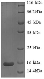 SDS-PAGE- Recombinant protein Human PLA2G2A