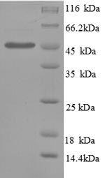 SDS-PAGE- Recombinant protein Human SERPINE1