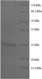 SDS-PAGE- Recombinant protein Human BSG