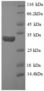 SDS-PAGE- Recombinant protein Human HIF1A