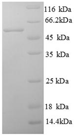 SDS-PAGE- Recombinant protein Human B7H4
