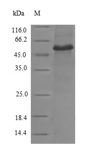 SDS-PAGE- Recombinant protein Human VCL