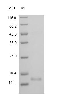 SDS-PAGE- Recombinant protein Rat Bdnf