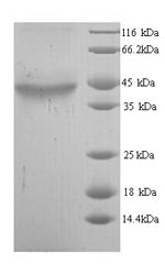 SDS-PAGE- Recombinant protein Human ADH5