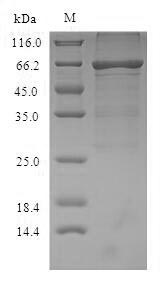 SDS-PAGE- Recombinant protein Mouse Alb