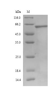 SDS-PAGE- Recombinant protein Bovine AMH