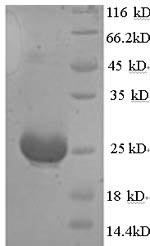 SDS-PAGE- Recombinant protein Mouse Amh