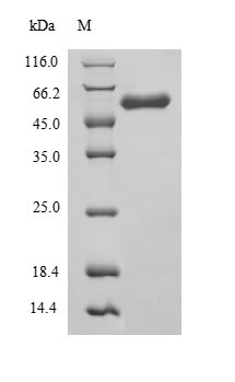 SDS-PAGE- Recombinant protein Rat Angpt1
