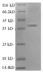 SDS-PAGE - Recombinant Human APEX1
