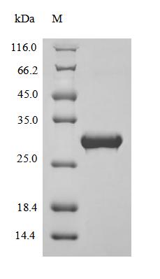 SDS-PAGE- Recombinant protein Bovine APOA1