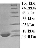 SDS-PAGE- Recombinant protein Human APOC4