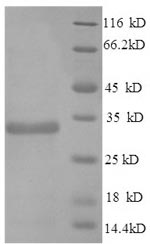 SDS-PAGE- Recombinant protein Mouse Apoe