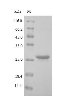 SDS-PAGE- Recombinant protein Human BNIP3L