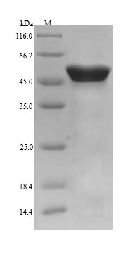 SDS-PAGE- Recombinant protein Pig CALR