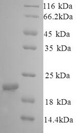 SDS-PAGE- Recombinant protein Dog CAV1