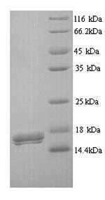SDS-PAGE- Recombinant protein Human CD300LB
