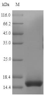 SDS-PAGE- Recombinant protein Mpuse Cd3e