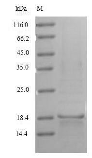 SDS-PAGE- Recombinant protein Human CD70