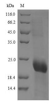 SDS-PAGE- Recombinant protein Human CD8A
