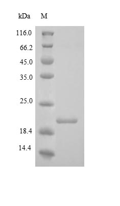 SDS-PAGE - Recombinant Human COL18A1