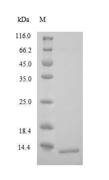 SDS-PAGE- Recombinant protein Human CRHR1